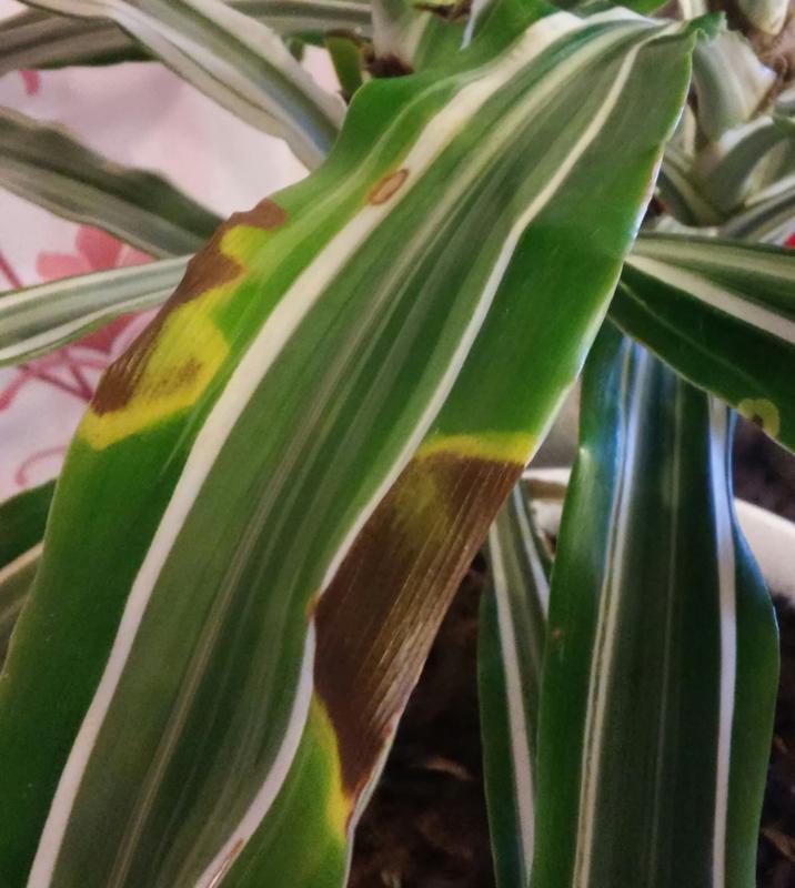 лист, поражённый грибковым заболеванием