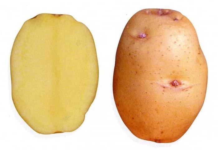 Клубни картофеля Барин