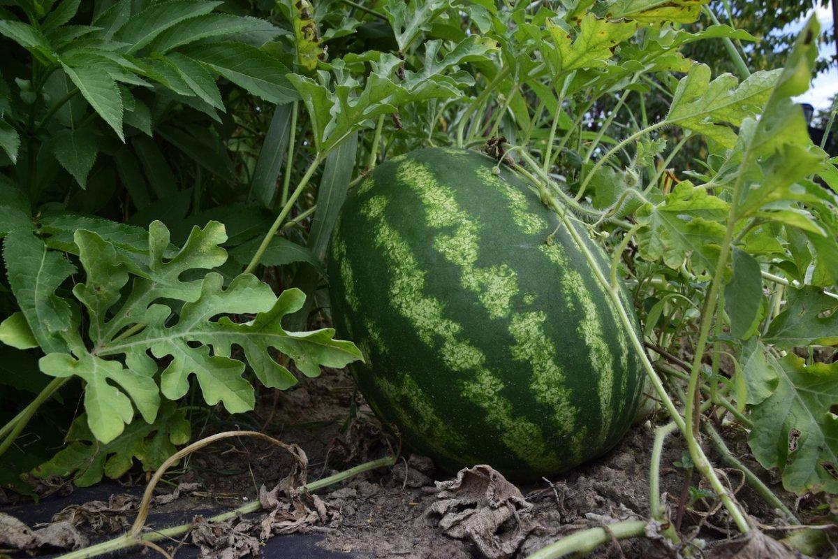 Как вырастить рассаду арбузов в домашних условиях