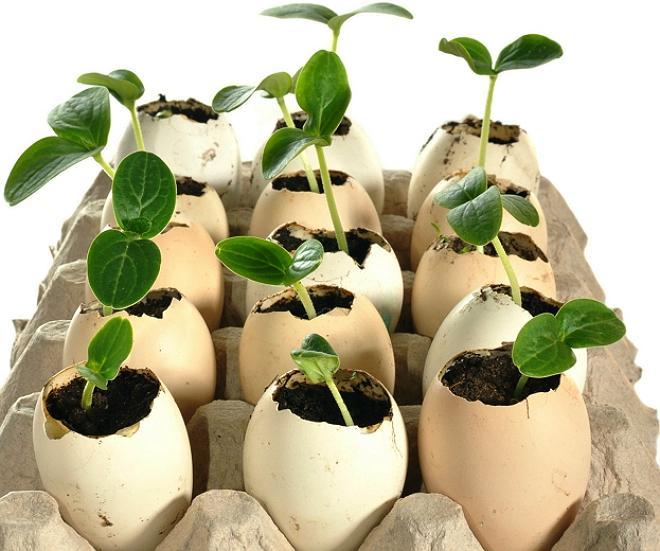 Рассада в скорлупе яиц