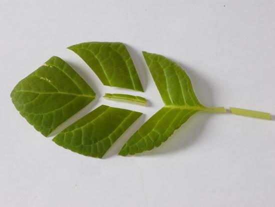 Размножение частями листа