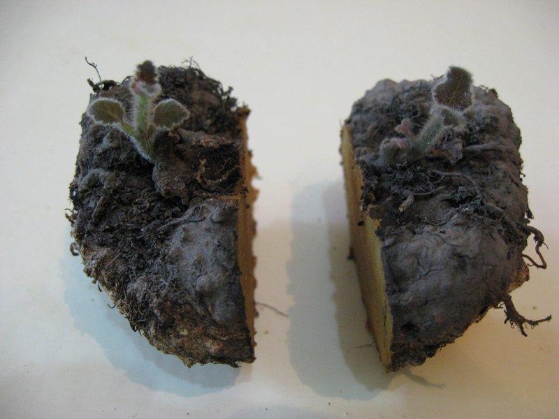 размножение глоксинии клубнями