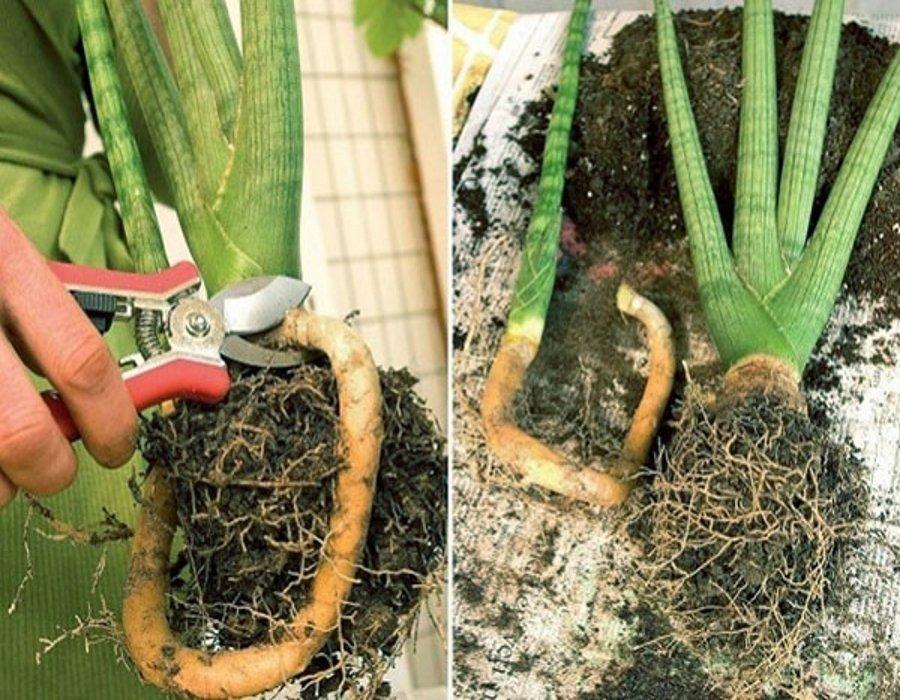 размножение сансевиерии делением корней