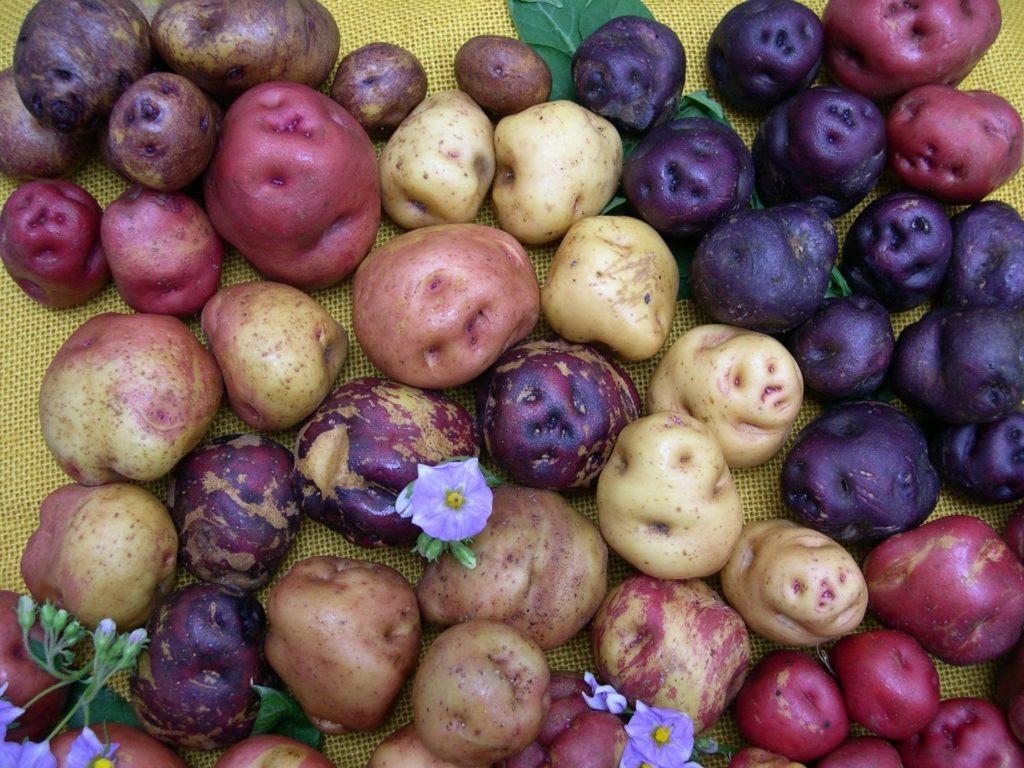 Клубни разноцветного картофеля