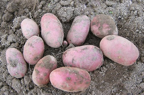 Картофель сорта Ред Скарлет