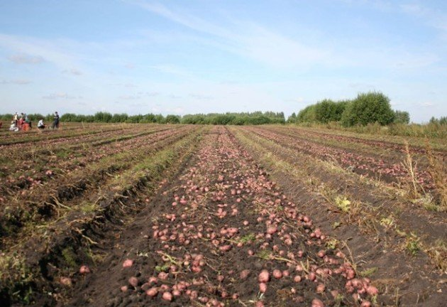 Урожай картофеля Роко