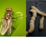 Ростковая муха и её личинки