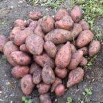 Какой картофель лучше?