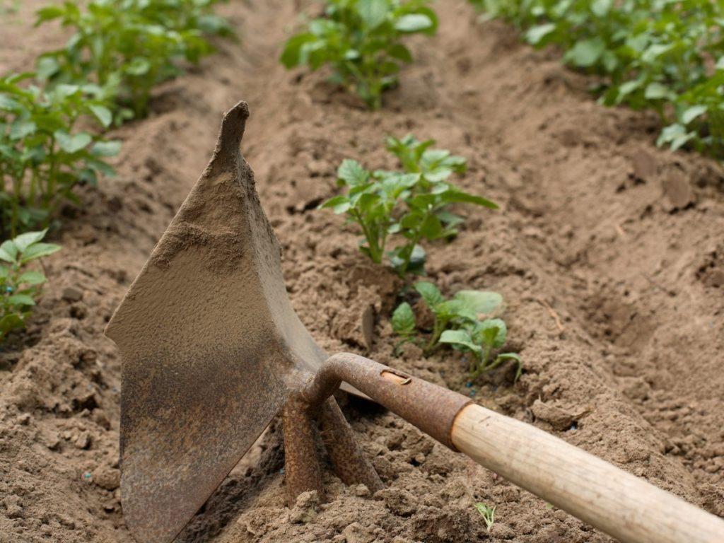 Процесс рыхления почвы с посадками картофеля