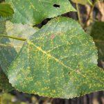 Ржавчина — болезнь растений