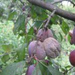 Поражённые монилиозом плоды