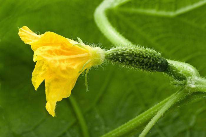 Женский цветок огурца