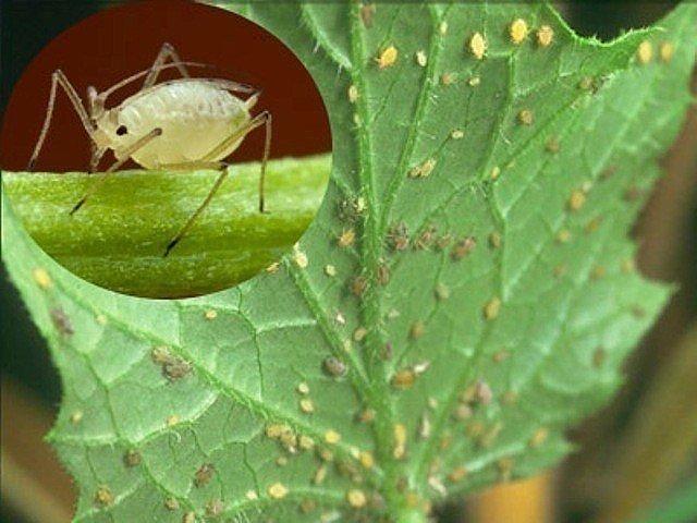 Тля на листьях огурца