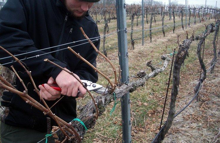 Садовник обрезает виноград