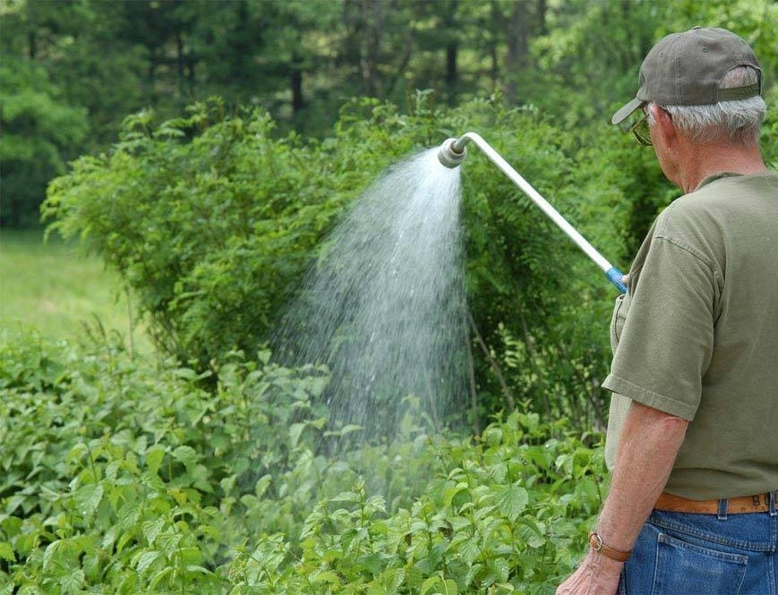 Садовник поливает кусты малины