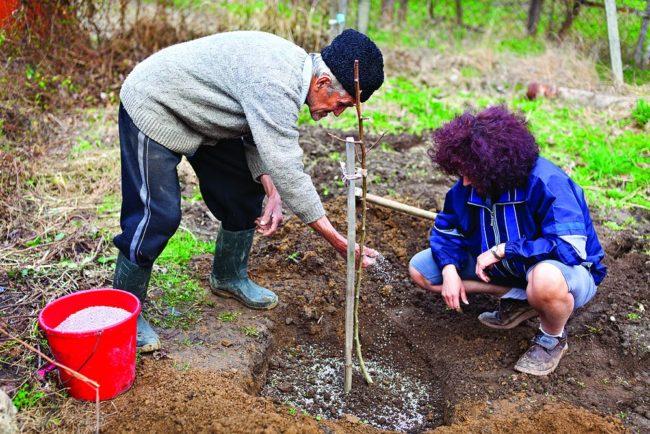 Садоводы сажают грушу