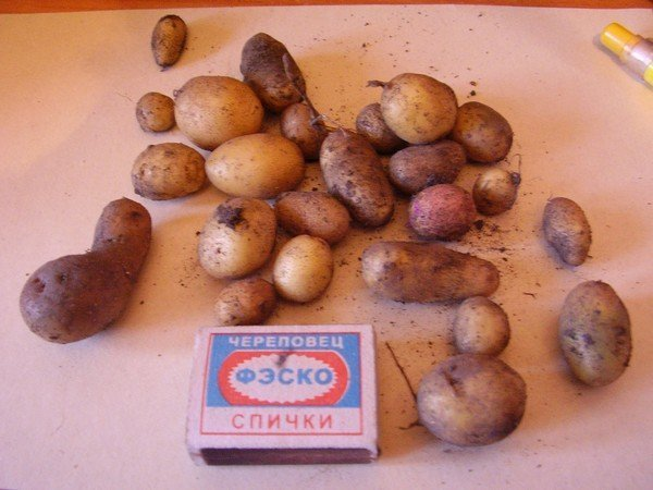 Самостоятельно выращенные из семян мини-клубни картофеля