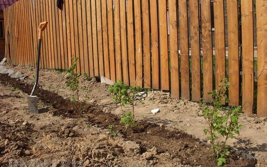 Саженцы малины под забором