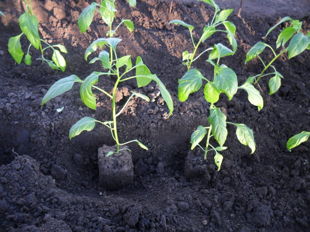 Саженцы перцев в лунках