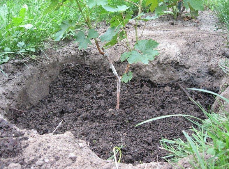 Саженец винограда в земле