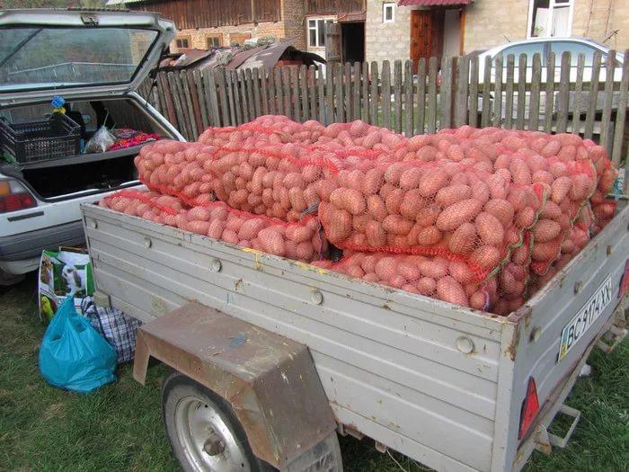 Сбор урожая картофеля Славянка