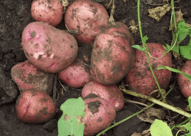Сбор урожая картофеля Журавинка