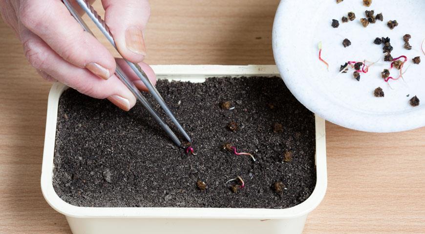 Семена свёклы в грунте