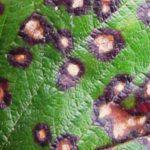 Септориоз смородины