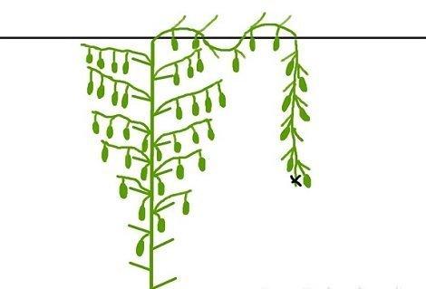 Схема формирования огуречного куста