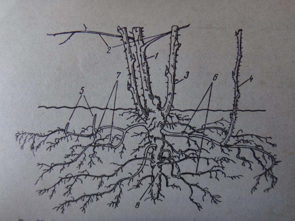 Схема куста малины