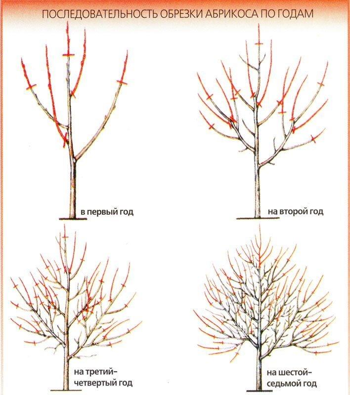 Схема обрезки абрикосовых деревьев