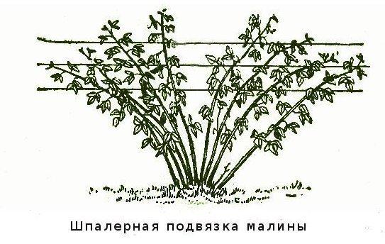Шпалерная подвязка малины