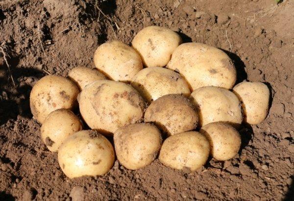 Сорт картофеля Сифра