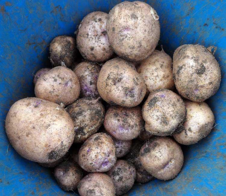 Картофель сорта Синеглазка