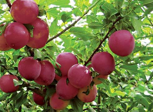 Плоды сливы Евразия на ветках