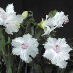 Сорт шлюмбергеры Day Bloomers