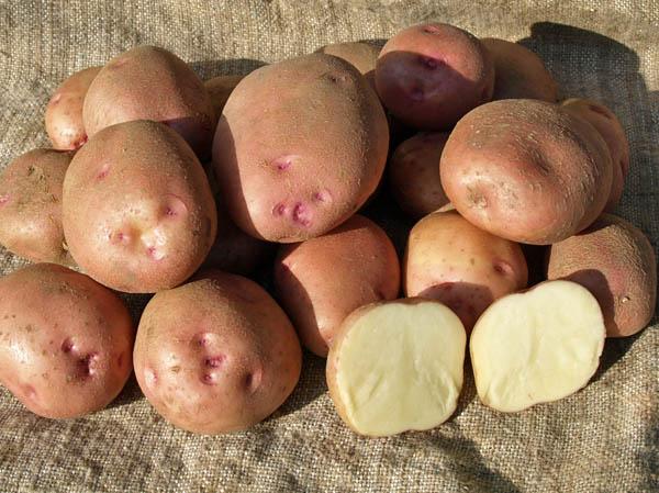 Сорт сладкого красного картофеля Симфония