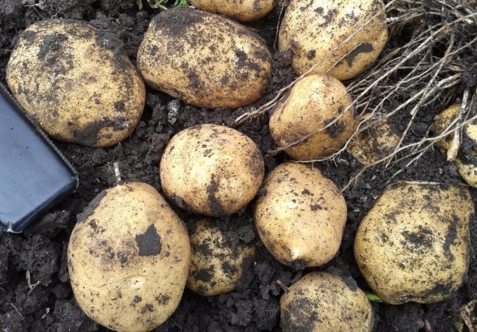 Урожай картофеля Тулеевский с одного куста
