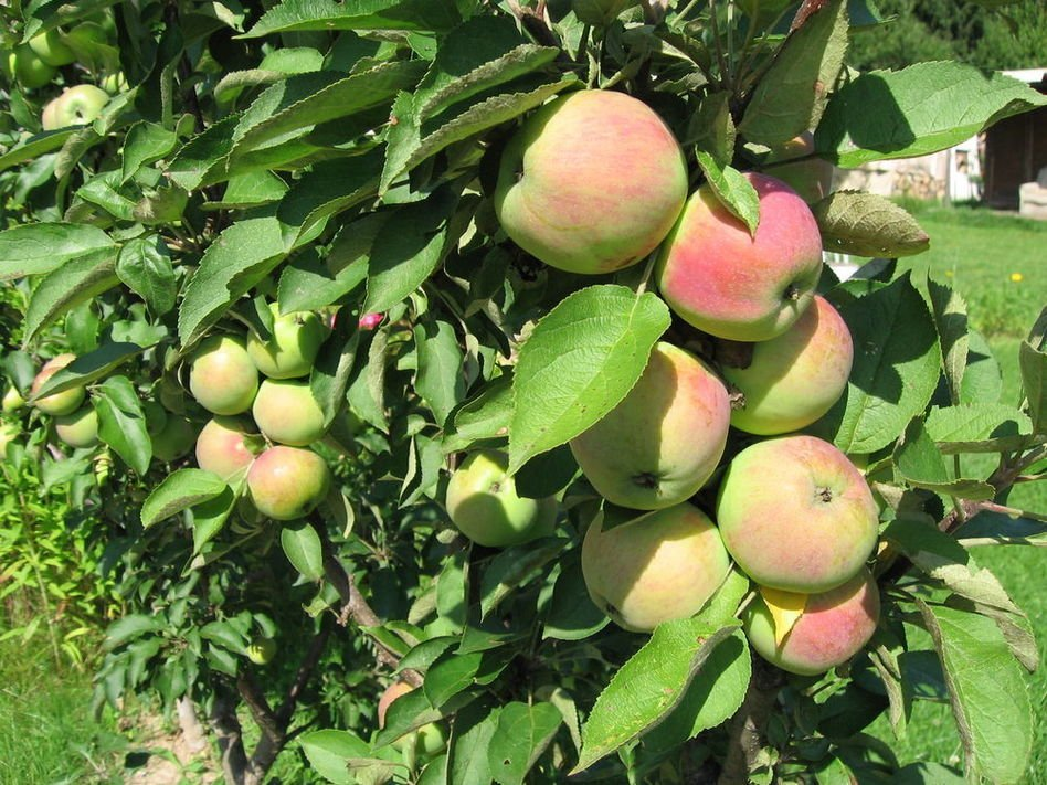 Созревшие яблоки Президента