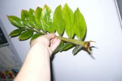 Размножение замиокулькаса листом и другими способами в домашних условиях