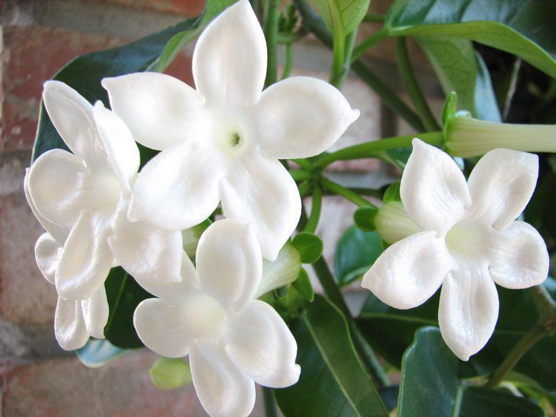 Стефанотис в комнатных условиях цветёт