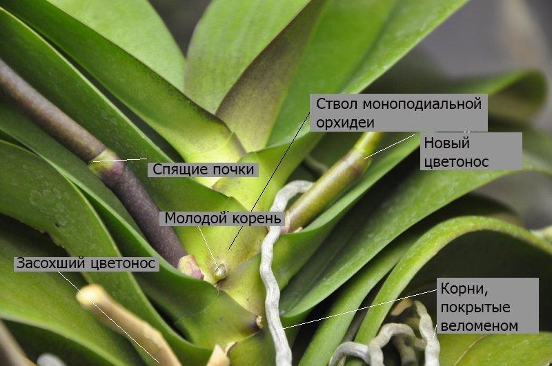 Строение моноподиальной орхидеи