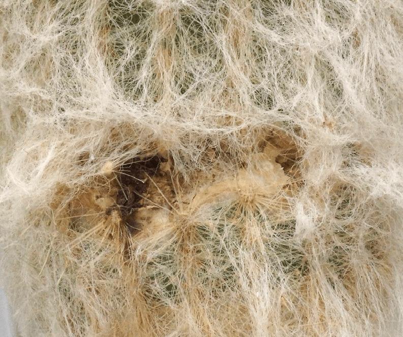 Сухая гниль на кактусе