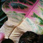 Сухие пятна на листе кротона