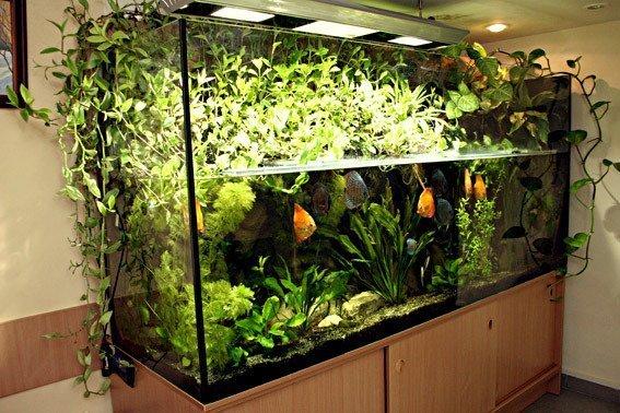 Традесканция в аквариуме