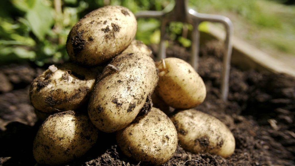 Один из самых вкусных сортов: Тулеевский картофель
