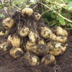 Молодые клубни картофеля