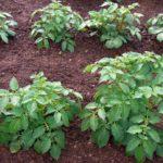 Уход за картофелем из семян