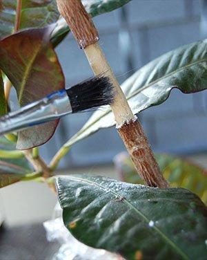 Укоренение кротона с помощью воздушной отводки
