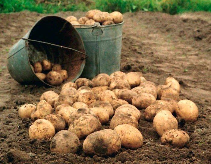 Урожай картофеля сорта Невский